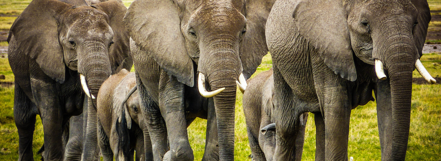 why-should-care-about-elephant-poaching